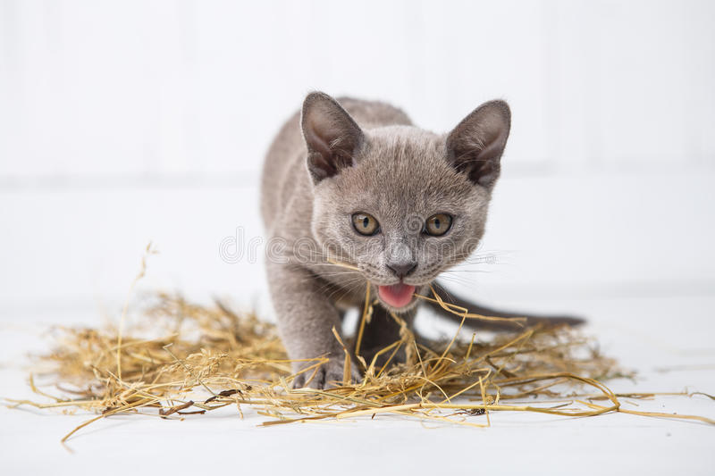 Playful cat in the straw on a white wooden floor jumps, hunts, stands on its hind legs. T. He European Burmese stock photo