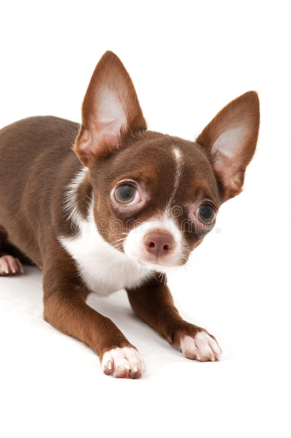 Playful Chocolate brown with white Chihuahua dog stock photos