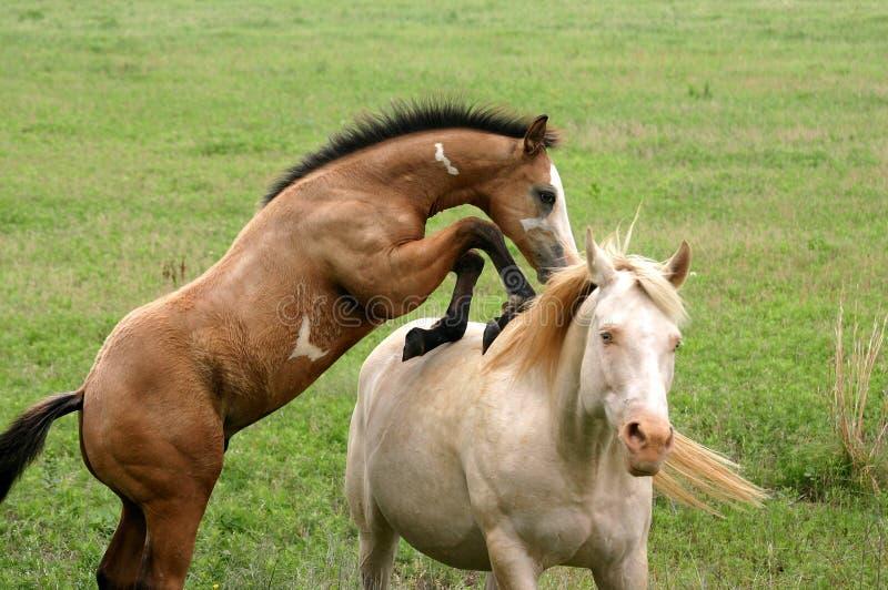 Download Playful Colt stock photo. Image of cremello, maternal, equus - 149850