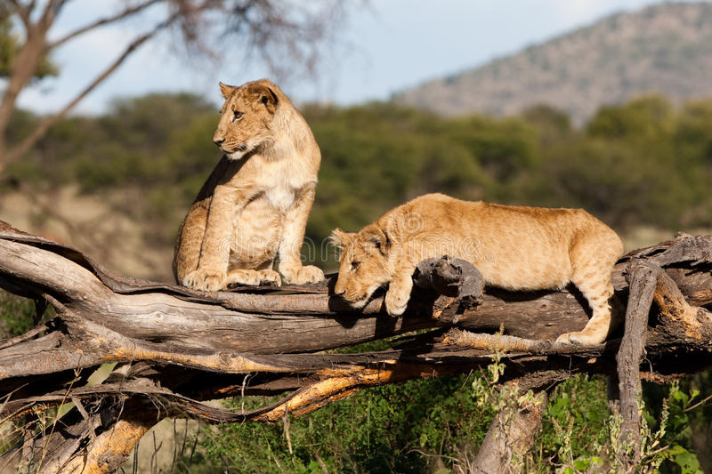 Playful Cubs Royalty Free Stock Image