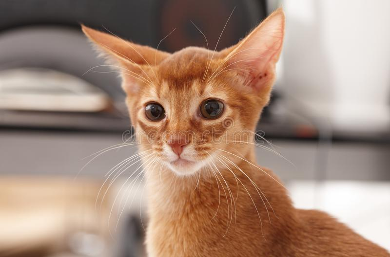 Playful cute little red cat. Close-up image of adorable cat royalty free stock photography