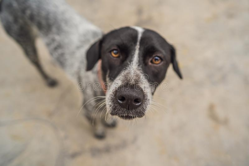 Playful dog face, black white and brown, with nose close to the camera lens, focus on face, closeup, with black and stock photography