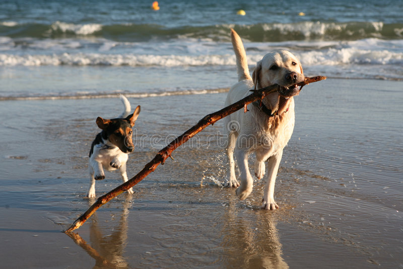 Dogs Playing on Beach with Stick royalty free stock photography