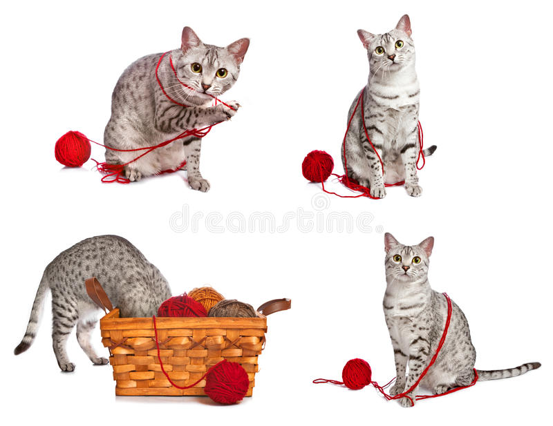 Download Playful Egyptian Mau Cats stock photo. Image of string - 27359356