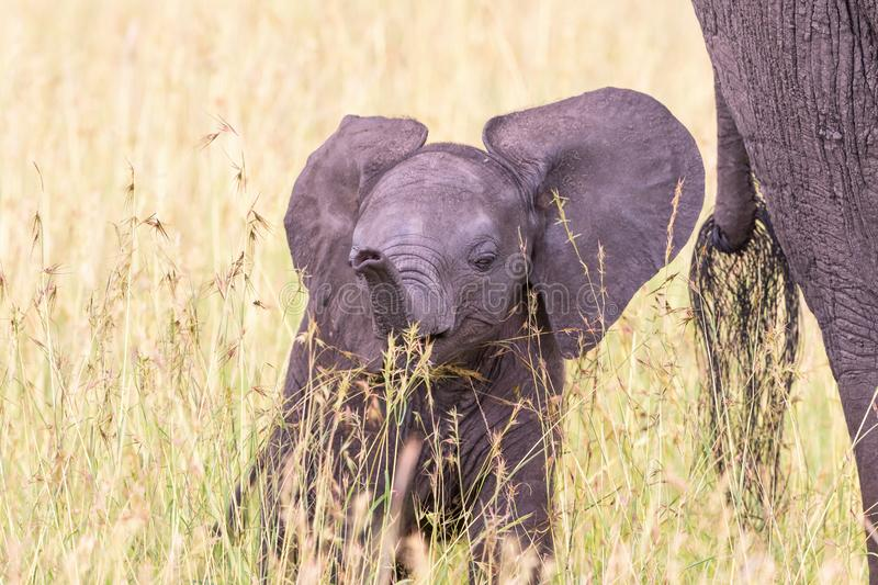 Playful Elephant calf in the grass. With his mother royalty free stock photos