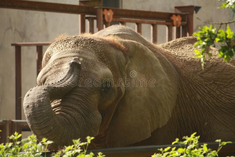 Playful Elephant Doing Tricks with Trunk stock images