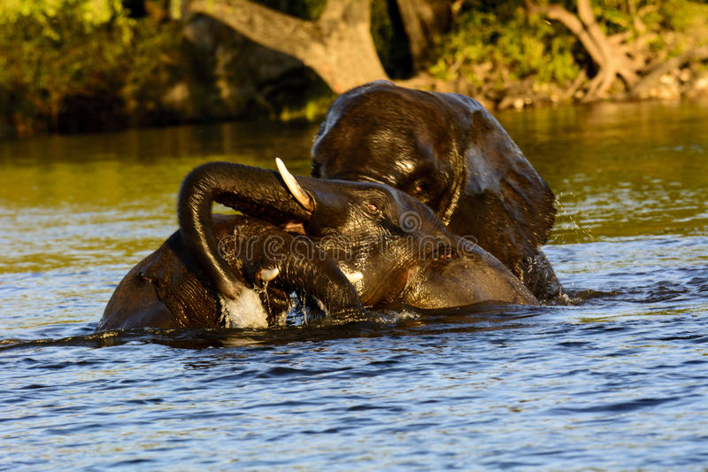 Playful elephants in the Chobe river stock images