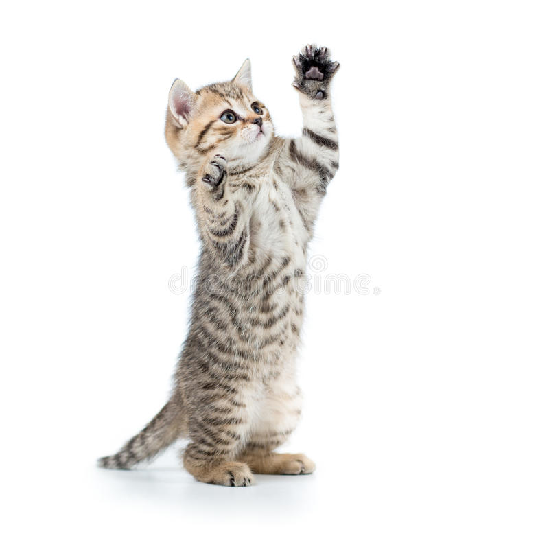 Free Playful Funny Kitten Looking Up. Isolated On White Stock Image - 47715951
