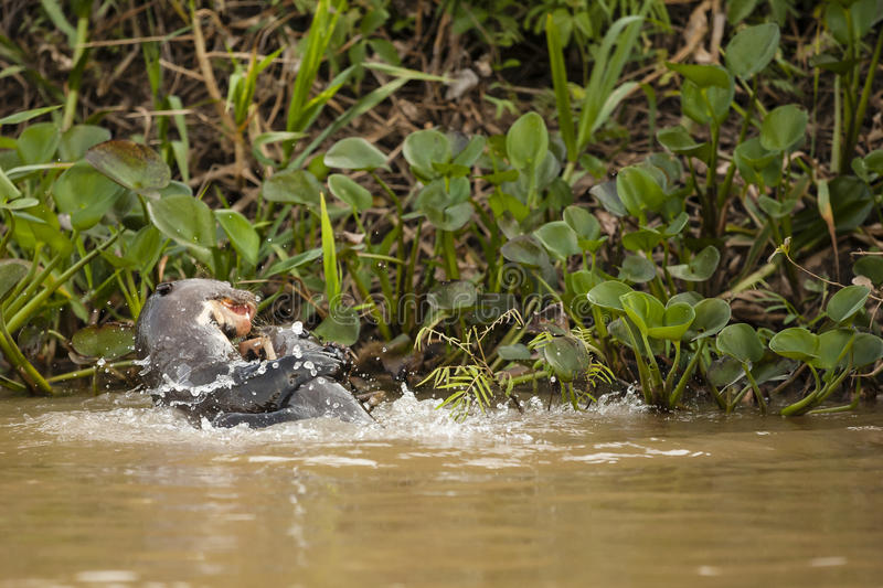 Playful Giant Otters in River stock photography