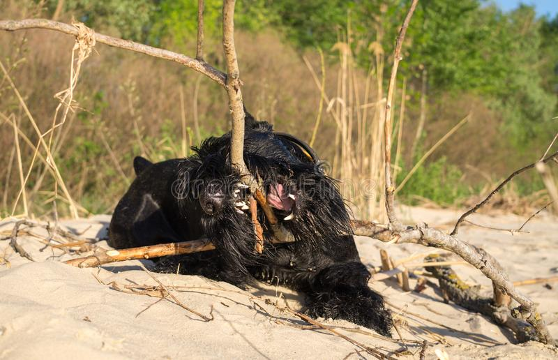 Playful giant schnauzer for a walk on the river bank royalty free stock photo