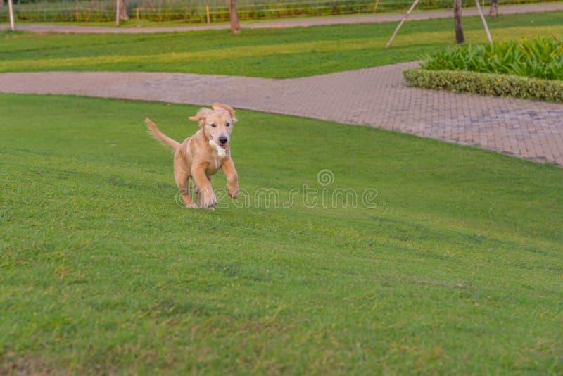 Playful golden retriever puppy running in the park stock photo