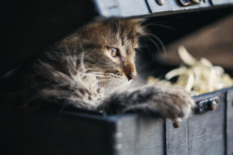 Playful gray kitten hid in a chest. The cat looks to the side stock photos