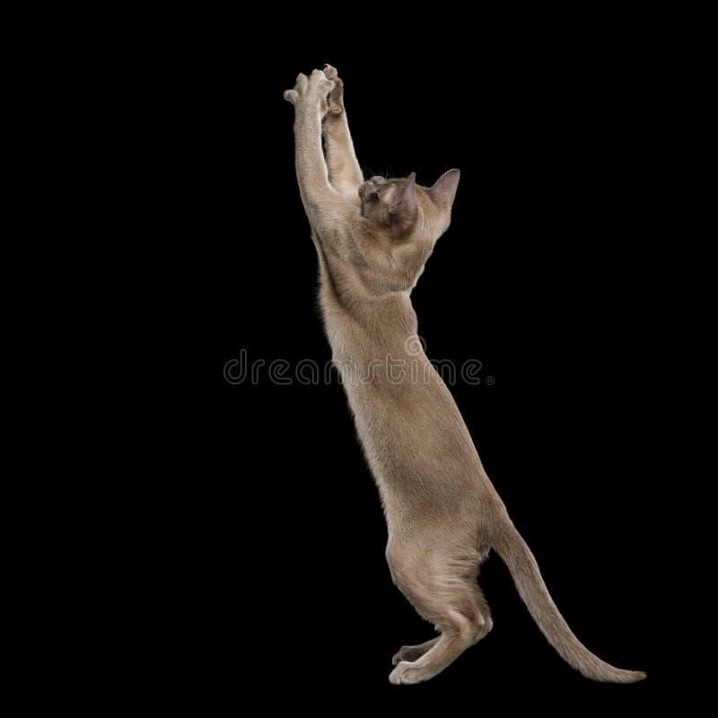 Burmese Kitten on isolated black background royalty free stock photos