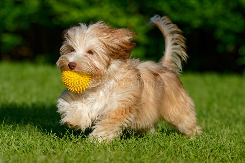 Playful havanese puppy walking with her ball. Playful chocolate colored havanese puppy dog walking with a yellow ball in her mouth in the grass stock photos