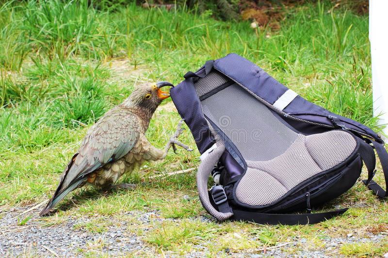 Playful Kea Parrot gnawing at Backpack. Playful Young Kea Parrot gnawing at Backpack, Milford Sound, New Zealand stock photography