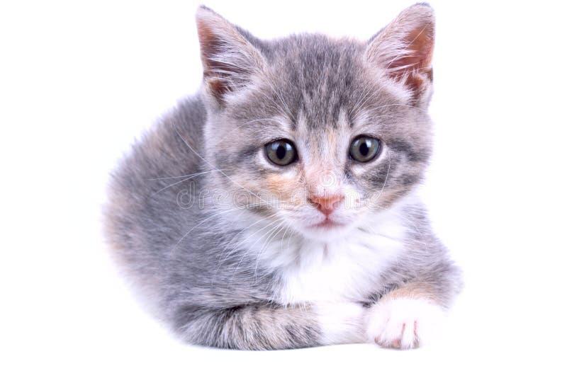 Playful kitten. stock images