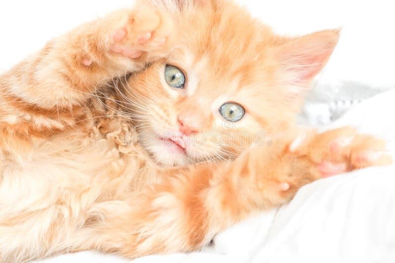 Playful kitten. Closeup of a playful ginger kitten with its tongue sticking out stock photos
