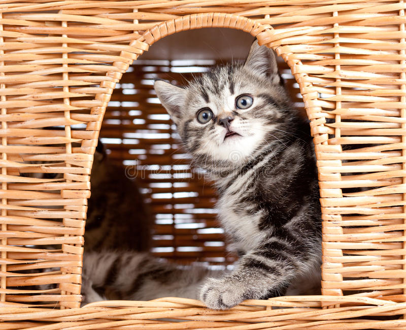 Download Playful Kitten Sitting Inside Cat House Stock Image - Image: 25122293