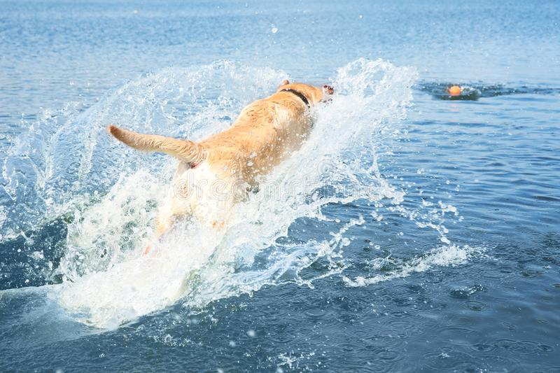 Playful Labrador Retriever jumping in wateк. Playful Labrador Retriever jumping in water to fetch ball royalty free stock images