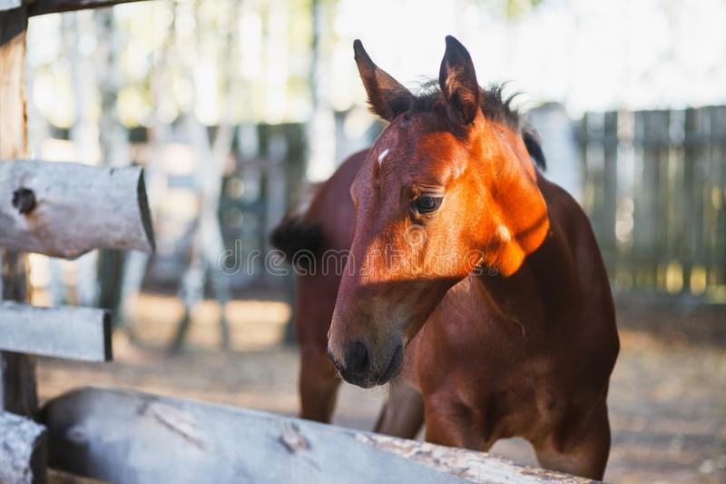A playful little foal looks at us from the aviary stock photo