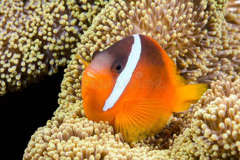 Playful orange clownfish. A beautiful orange clownfish rests in the protective tentacles of a sea anemone in the tropical sea of Fiji royalty free stock photography