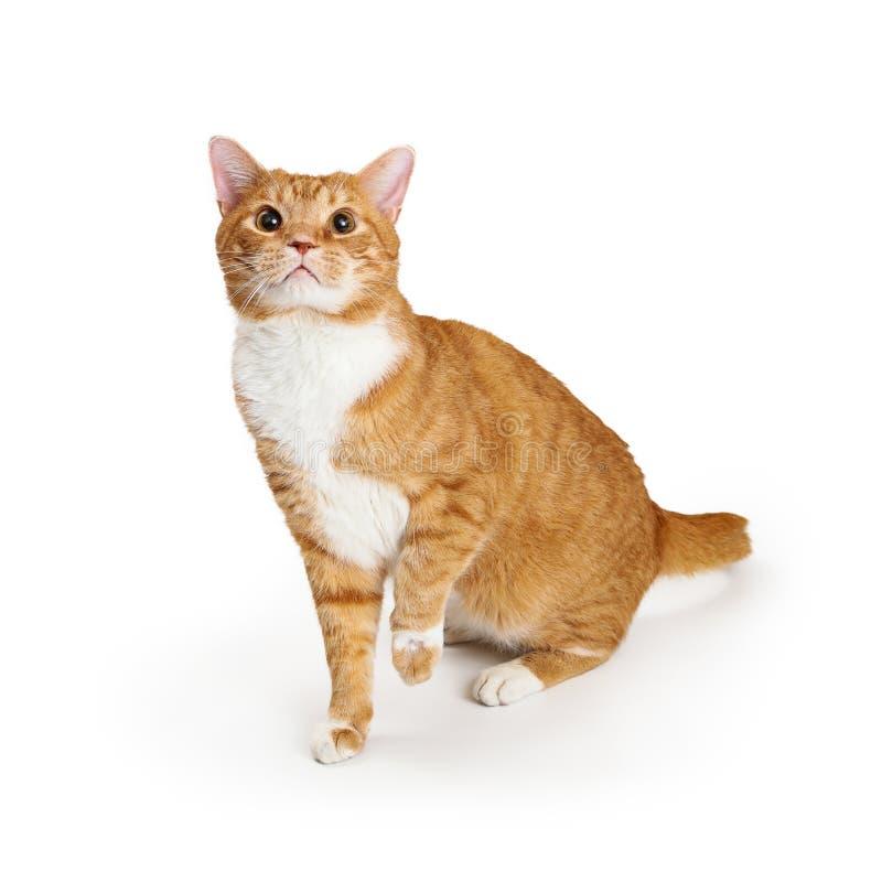 Playful Orange Cat Looking Up Raising Paw. Playful orange tabby cat sitting on white looking up raising paw stock photos