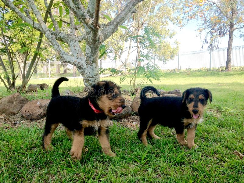 Playful pet Airedale Terrier puppy dogs playing outdoors misty morning royalty free stock photo