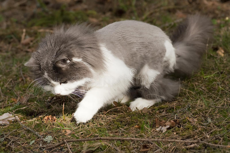 Playful. A playing cat with a bad hairdo royalty free stock photos