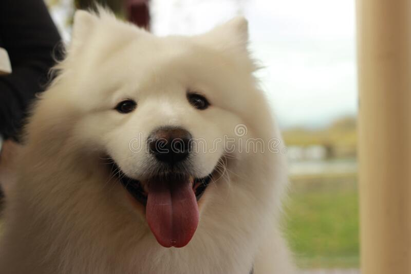 Portrait of a cute fluffy furry happy Samoyed male family pet dog posing in a park in winter, Victoria Australia. Playful portrait of a cute fluffy furry happy stock image