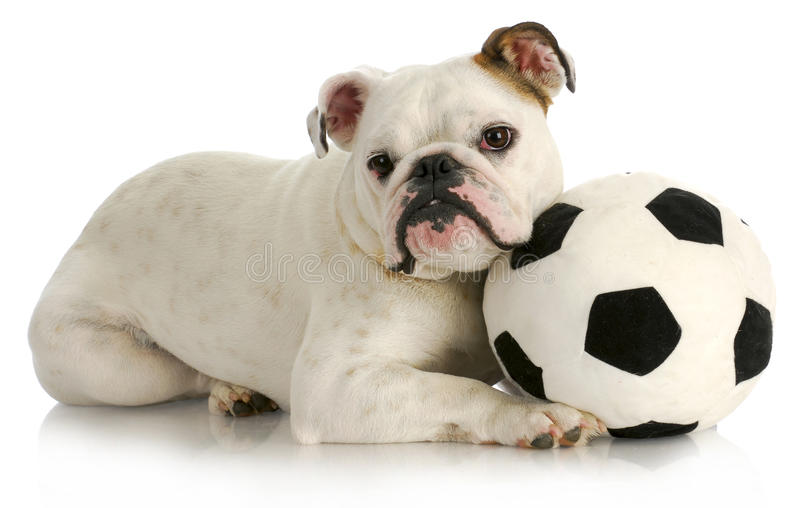 Playful puppy royalty free stock photo