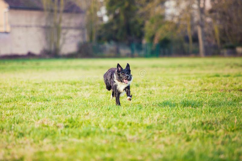 Playful purebred border collie dog running outdoors in the courtyard. Adorable, happy puppy enjoying a sunny day playing on the royalty free stock photo