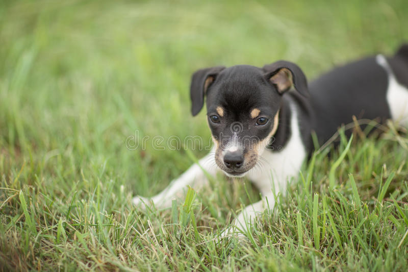 Playful Rat Terrier puppy. A playful Rat Terrier puppy in green grass stock image