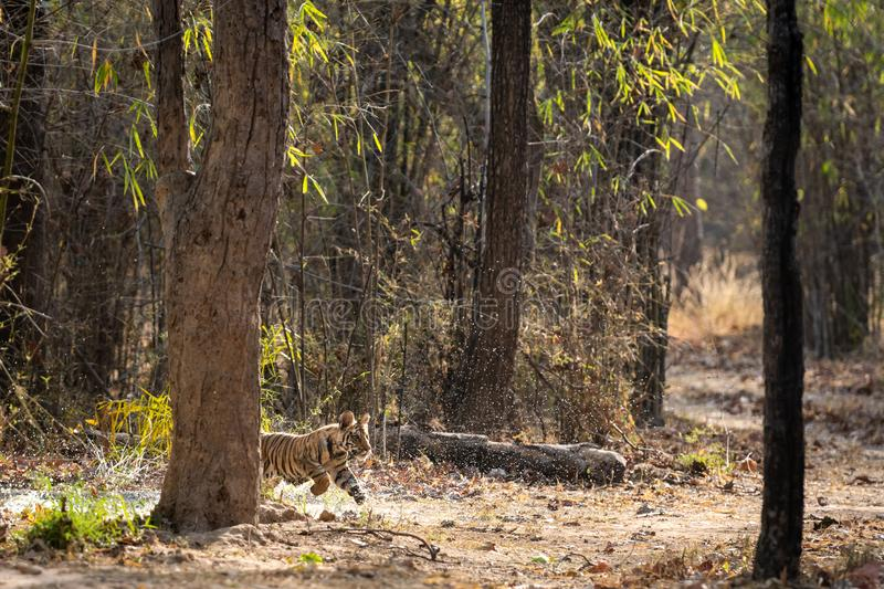 Playful and running tiger cub with water droplets and his father sleeping near waterhole from forest of central india, bandhavgarh. National park, madhya stock photo