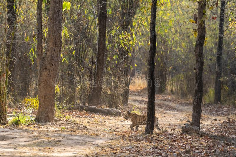 Playful and running tiger cub with water droplets and his father sleeping near waterhole from forest of central india, bandhavgarh. National park, madhya royalty free stock photography