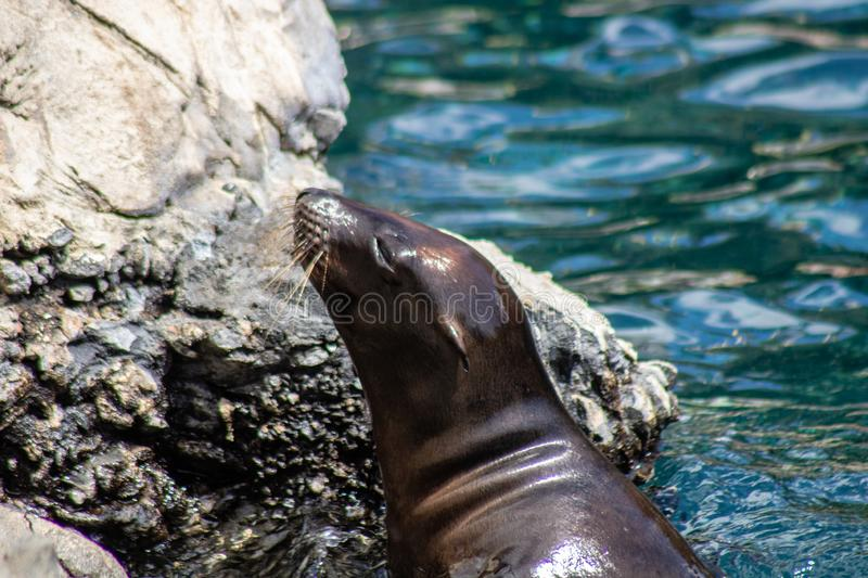Playful sea lions. Picture of playful sea lions stock image