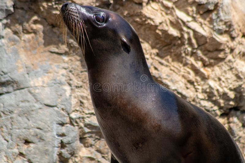 Playful sea lions. Picture of playful sea lions stock photo