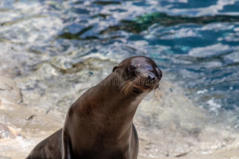 Playful sea lions. Picture of playful sea lions royalty free stock photography