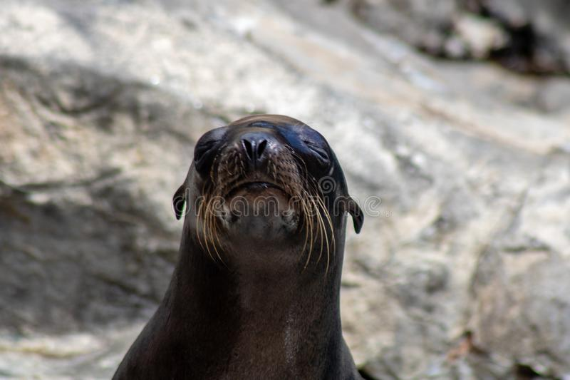Playful sea lions. Picture of playful sea lions royalty free stock photo