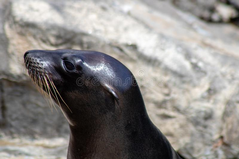 Playful sea lions. Picture of playful sea lions stock images