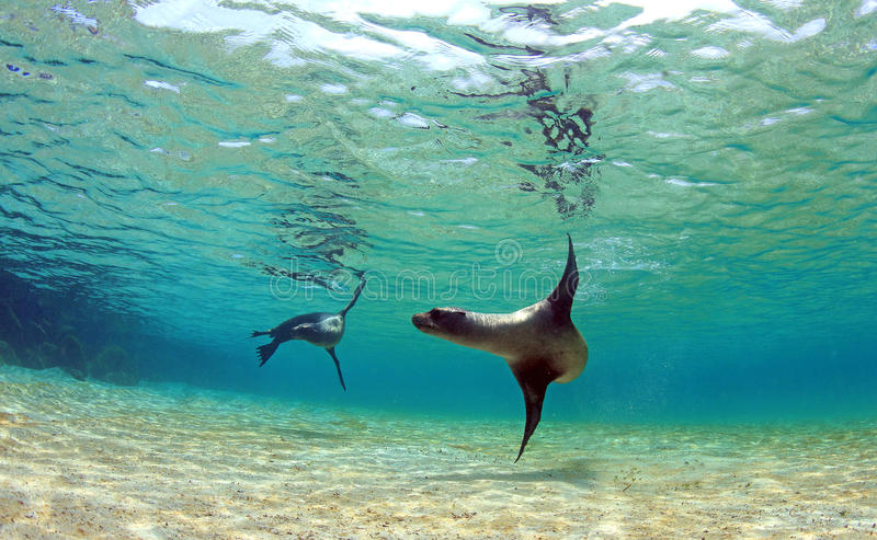 Playful sea lions swimming underwater. In tropical paradise lagoon royalty free stock photography