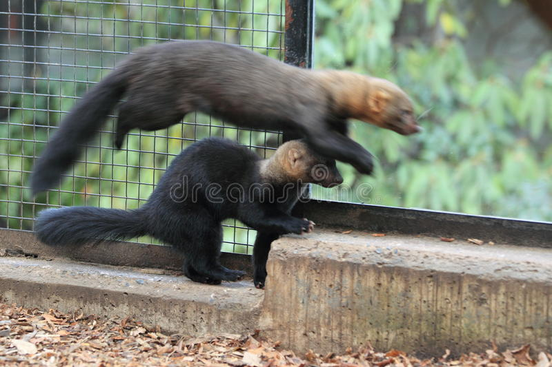 Download Playful Tayras Royalty Free Stock Photography - Image: 22547147
