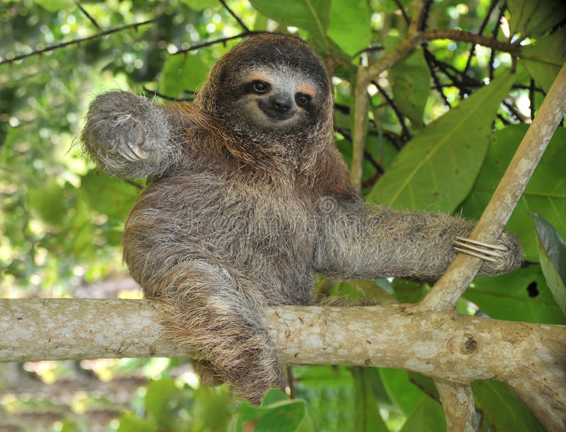Playful three toe sloth sitting in tree,costa rica royalty free stock images