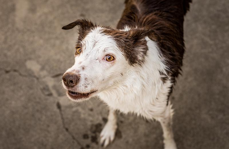 Playful wet brown and white border collie royalty free stock images