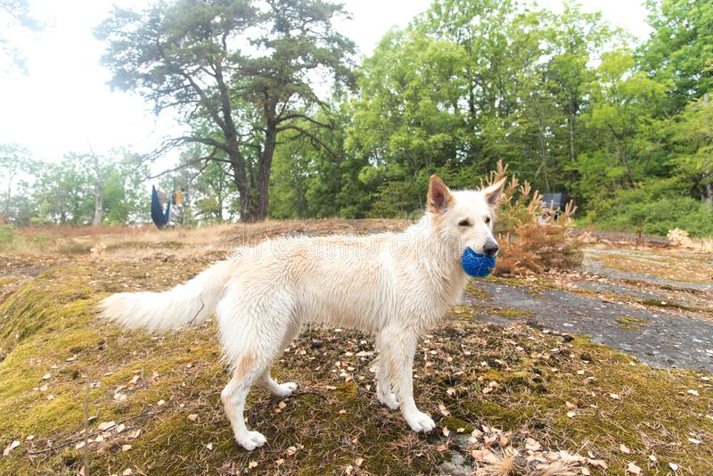 A playful wet white shepherd dog stands on the beach and holds a blue toy ball. T royalty free stock photo