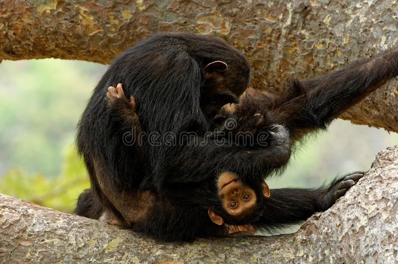 Playful young chimpanzee with its mother. Taken in Tanzania stock photo