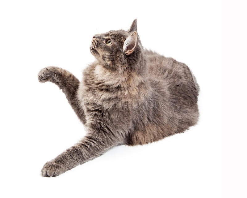 Playful Young Domestic Medium Hair Cat. A cute playful grey color domestic cat looking to the side and lifting a paw to bat at an object stock images