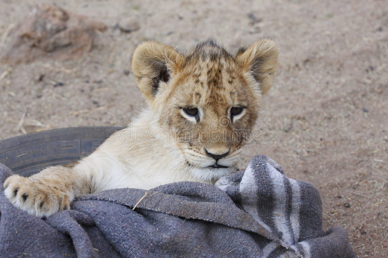 Playful young lion. Young lion cub sitting in a basket with a grey blanket stock images