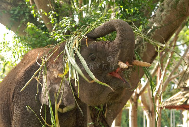 Playful young Pygmy elephant. A pygmy elephant playing with a heap of grass. Two-thirds of the diminishing Borneo pygmy elephants can be found in Malaysia royalty free stock image