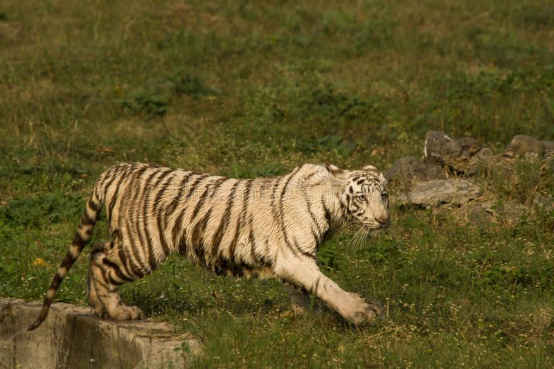 Playful young white tiger cub in India. It is said that all the white tigers around the world are from the genetic lineage of one white tiger named Mohan who royalty free stock image