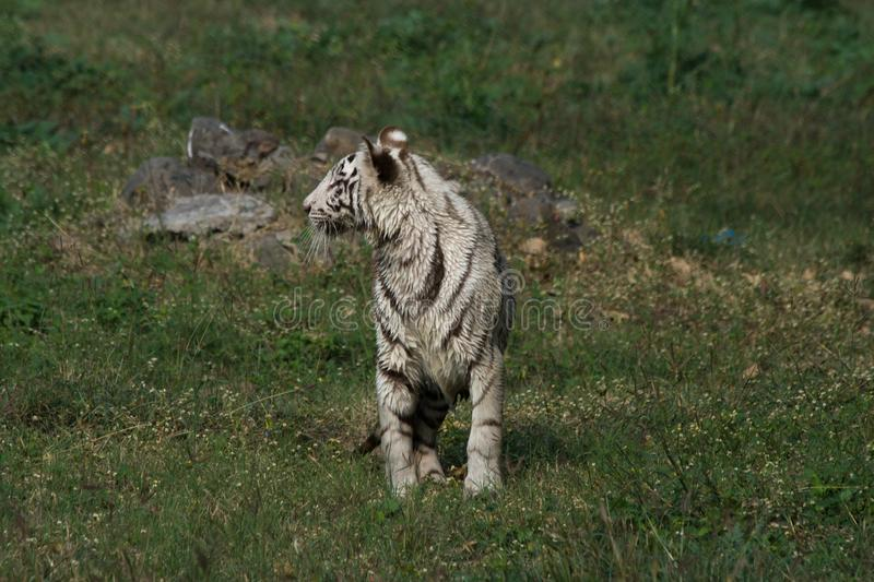 Playful young white tiger cub in India. It is said that all the white tigers around the world are from the genetic lineage of one white tiger named Mohan who royalty free stock photography